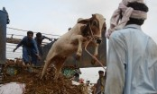 Traders yet to respond for carrying sacrificial animals by train