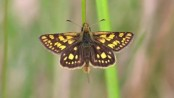 Lockdown prevents release of rare butterfly in England