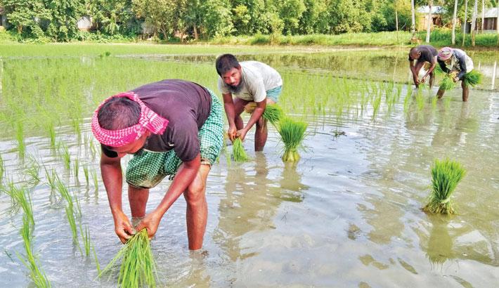 Farmers are busy transplanting Aman seedlings