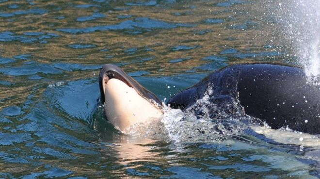 Killer whale who carried dead calf for days is pregnant