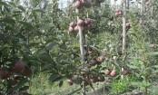 PMDP helping progressive apple growers in J-K's Anantnag