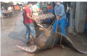 Giant fish weighing nearly 800kg caught off Digha