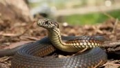 Mother, daughter die from snakebite in Naogaon