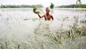Flood inundates 34,342 hectares of croplands in Rajshahi division