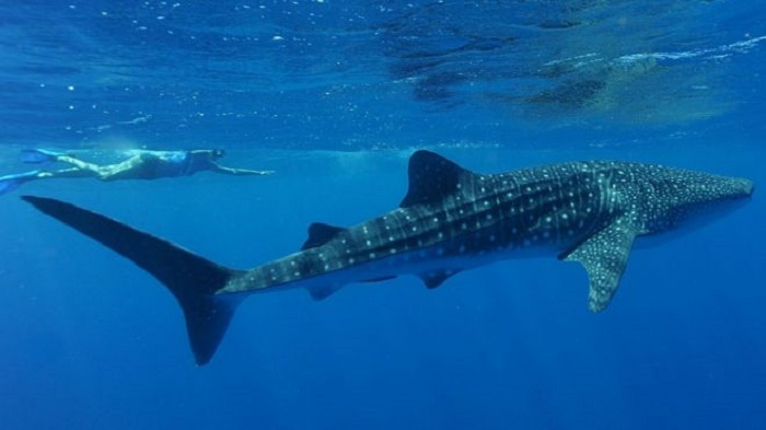 Ningaloo Reef: Woman injured by whale shark at Australian tourist spot