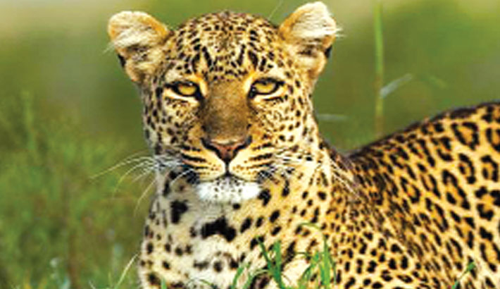 Leopards, wolves vanishing from panda conservation areas