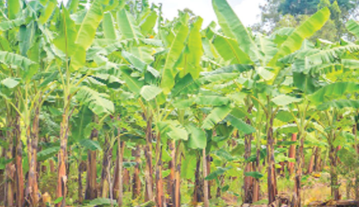 Ancient bananas reveal first Australians' farming skill