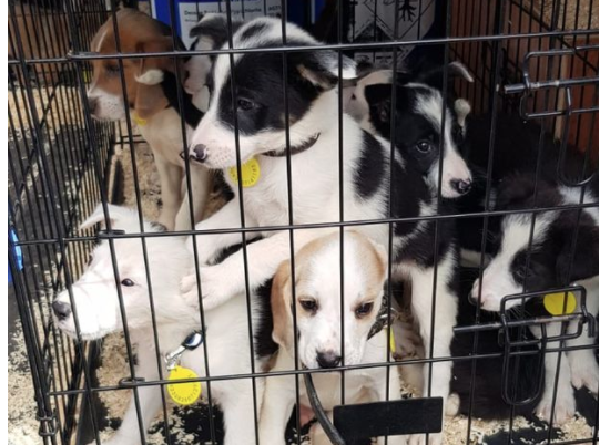 Man arrested after 40 puppies found in cages in back of van after 'theft'