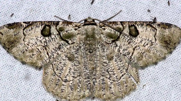New moth species found, another rediscovered after 100 years in India's Arunachal