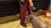 Neuralink: Elon Musk unveils pig with chip in its brain