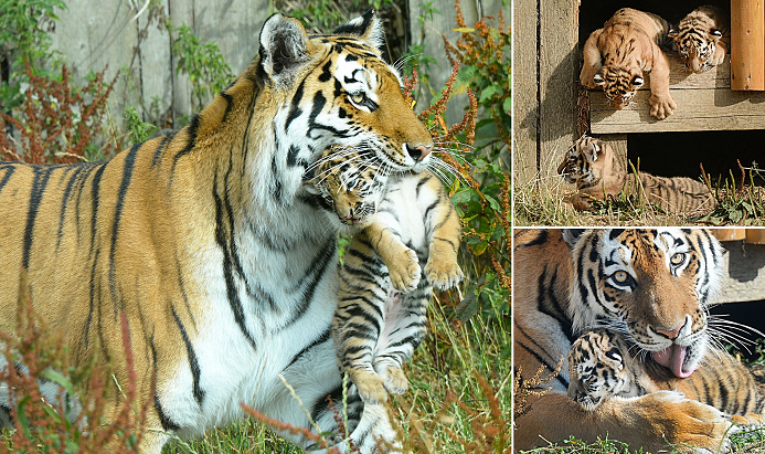 Moscow Zoo announces birth of four Amur tiger cubs