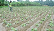 Early winter vegetable farming gains momentum