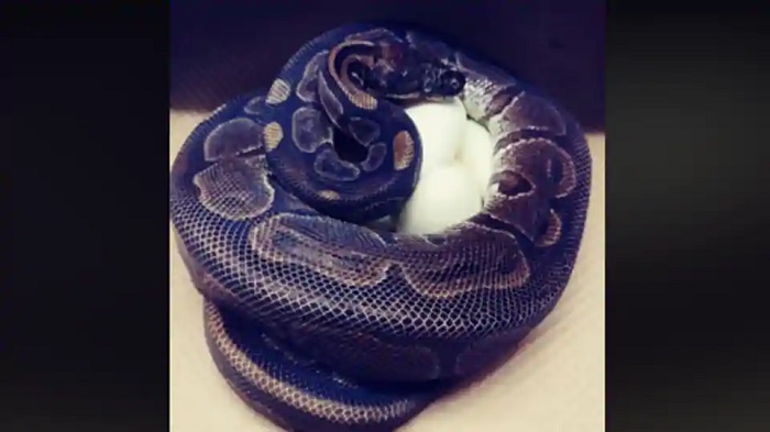62-year-old ball python lays 7 eggs without male help, says zoo