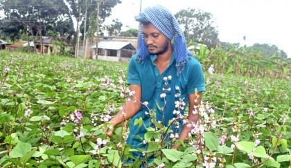 Farmers making profit by growing early variety bean