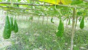 A new way to cultivate the humble bottle gourd proves a boon