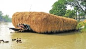 Hay, the main cattle food, is being taken to market by boat