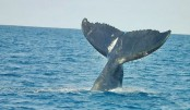 Humpback whales stray up tropical Aussie river