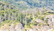 CO2 makes trees live fast  and die young: study