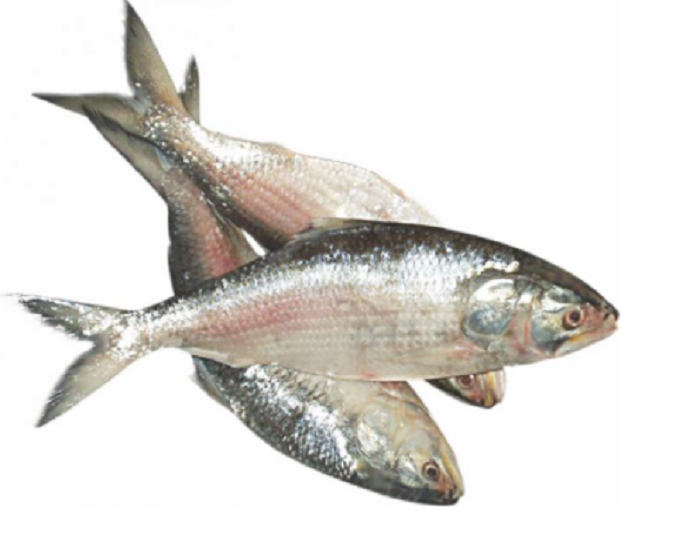 Durga Puja: 1,450 tonnes hilsa to be exported to India