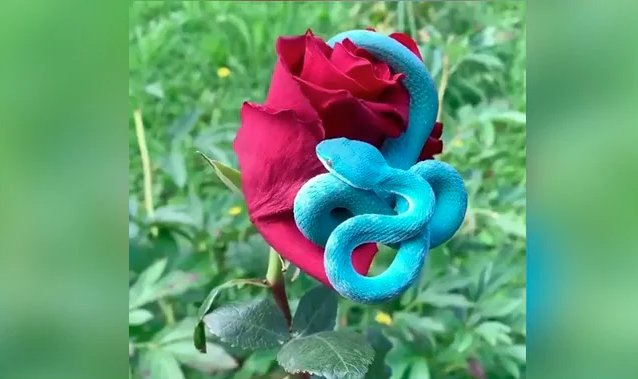 This blue snake is as dangerous as it is beautiful