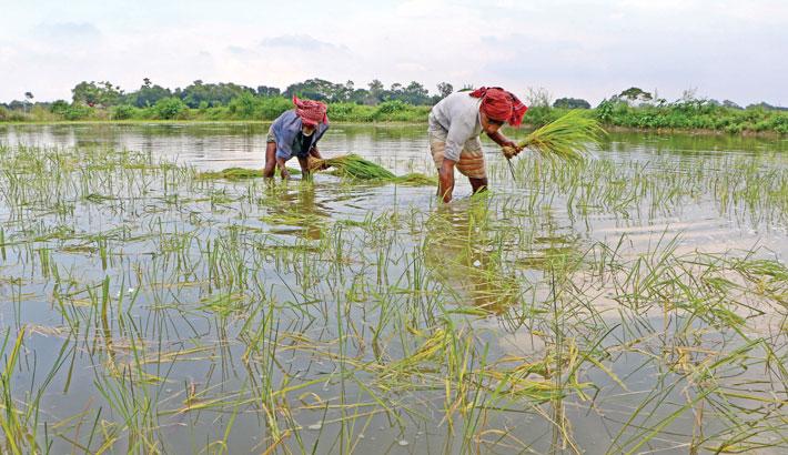 Two farmers transplant paddy seedlings in a field