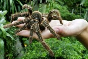 Venom from giant spider shows potential as painkiller for IBS