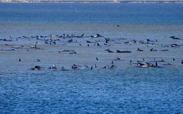 25 Whales feared dead, around 270 stranded off Australia's Tasmania