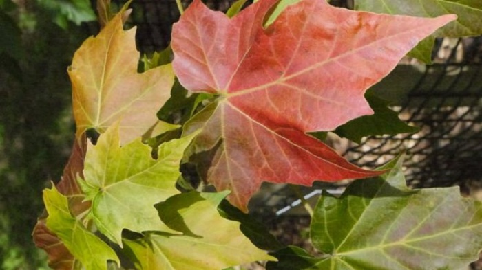 Wild maple trees 'in serious need of conservation'