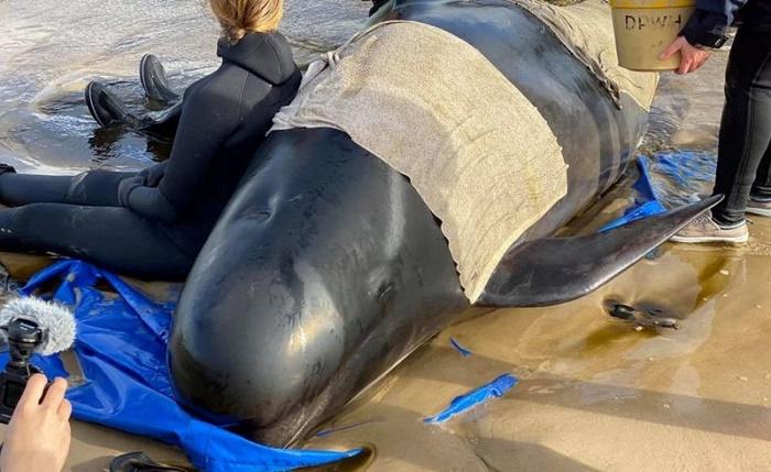 Pilot whales Tasmania: Almost 400 die in Australia's worst stranding