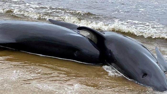 Australia whale stranding: 470 animals now beached in Tasmania record