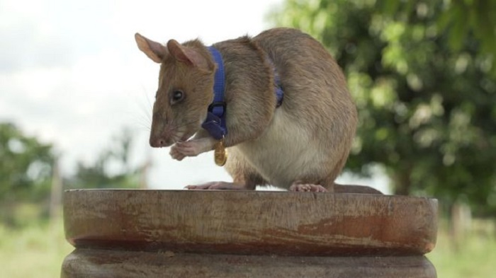 Magawa the mine-detecting rat wins PDSA Gold Medal