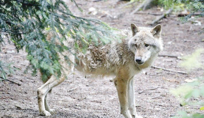 Swiss decide on law to ease curbs on wolf shooting