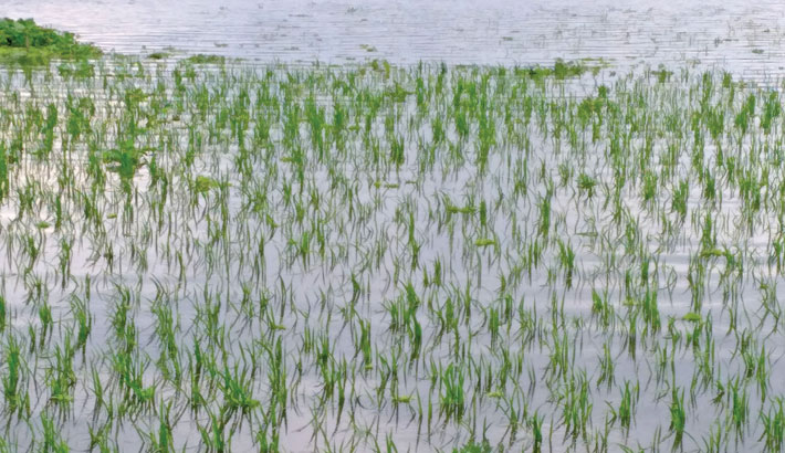 Hundreds of acres of paddy cropland have been submerged by heavy rains