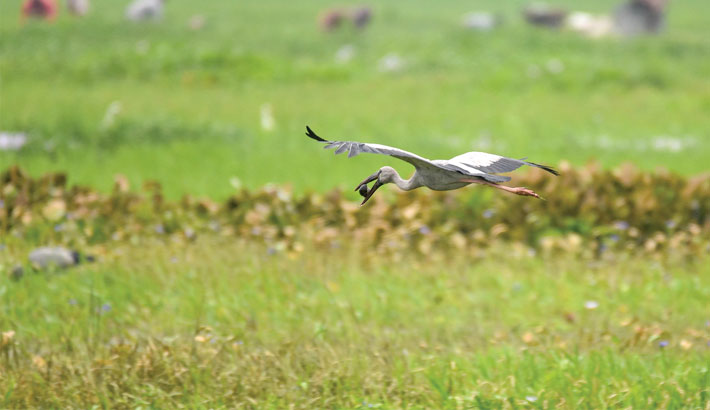 An Asian openbill stork flies over a field
