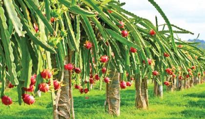Bright prospect of dragon fruit farming