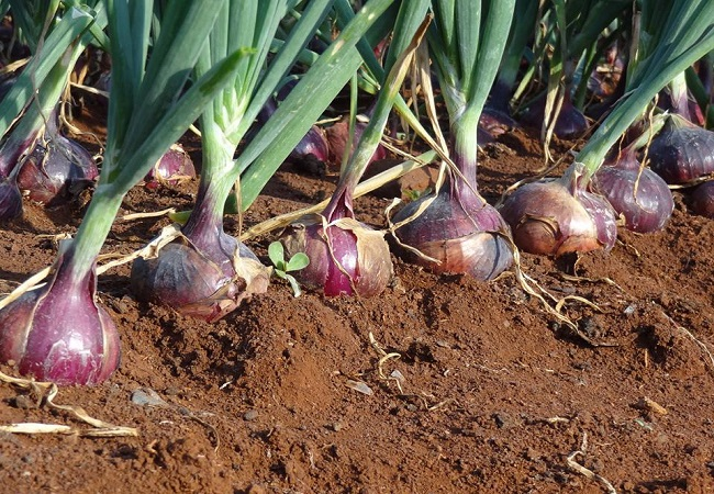 Onion crisis may create opportunity for growers