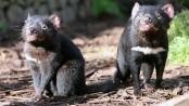 Tasmanian Devils reintroduced into Australian wild