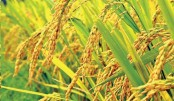 Commercial aromatic rice farming shows bright prospects