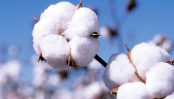 Govt plans to enhance 20 lakh bales cotton production by 2041