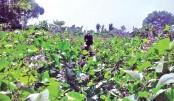 Khagrachhari farmers benefit from early winter bean cultivation