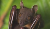 Covid: Why bats are not to blame, say scientists