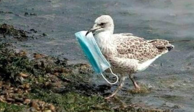 Photo of Seagull carrying discarded face mask sparks concern