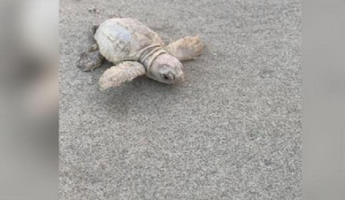 Rare white sea turtle found on South Carolina beach