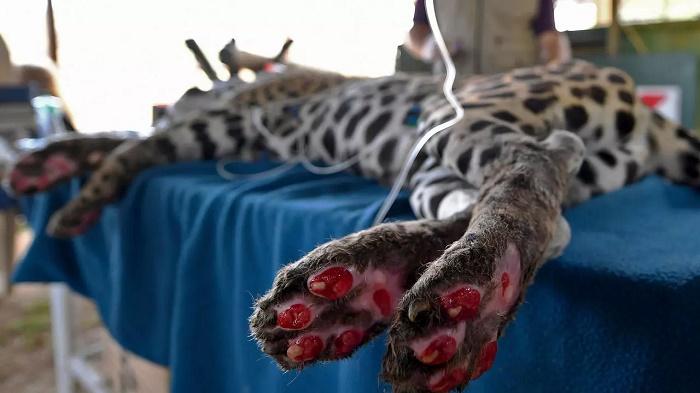 Scorched jaguar returns home after Brazil fire ordeal