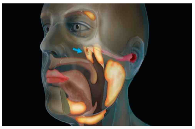 Scientists detect possible new organ in human throat