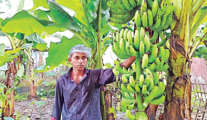 Farmer is tending his banana orchards