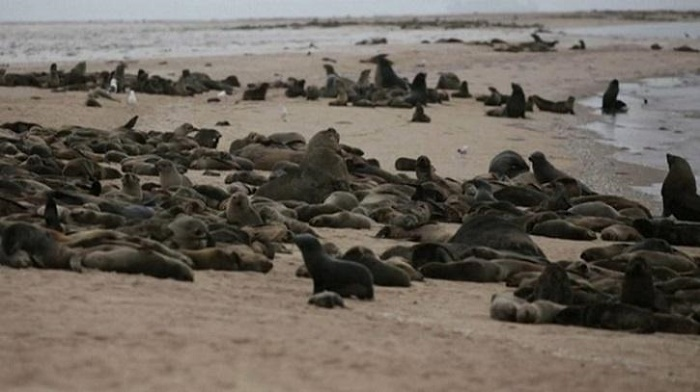 Thousands of seals found dead in Namibia