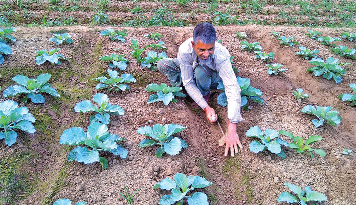 A farmer is uprooting weeds in a vegetable field