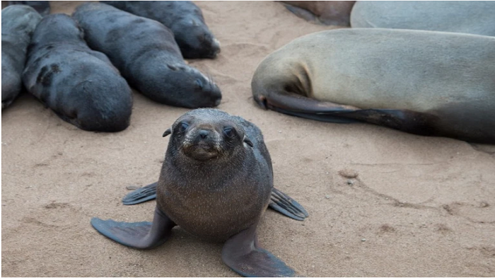 Mystery of 7,000 dead seals at the breeding colony on Namibia beach