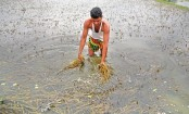 Flood eats into Tk 20bn crops